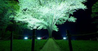 高知県幡多郡大月町 月光桜
